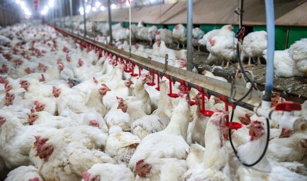 ابتلای بعضی طیور باغ پرندگان قم به آنفلوآنزای فوق حاد